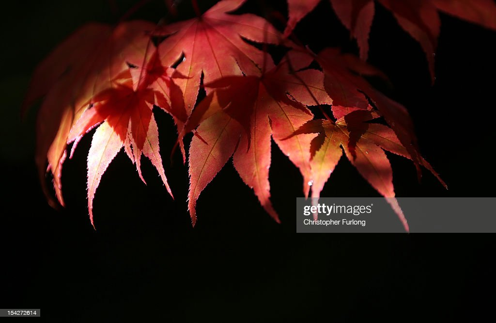 Leaves from an Acer tree turn a warm autumnal red at The National Trust's Tatton Park on October 17, 2012 in Knutsford, England. As summer draws to a close the cooler temperatures bring on the Autumn foliage colours.