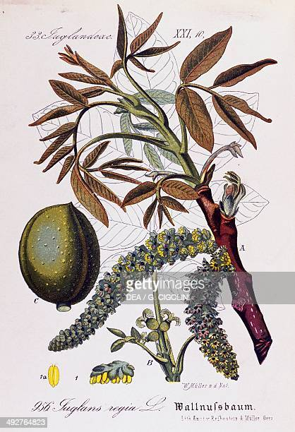 Leaves fruits and flowers of Persian walnut or English walnut artwork by Otto Wilhelm Thome from Flora von Deutschland Osterreich und der Schweiz...