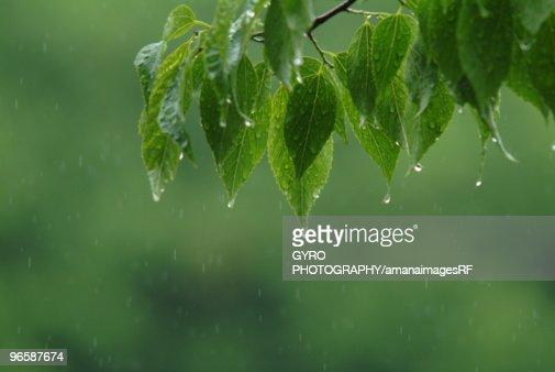 Leaves in rain, close up : Foto de stock