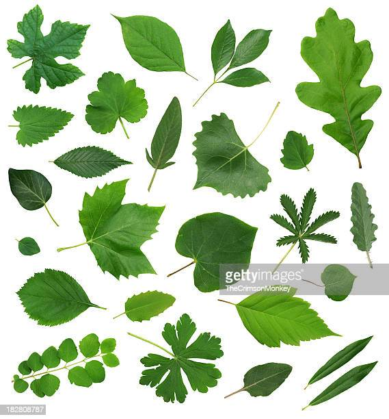 Leaves Leaf Isolated Collection Assortment
