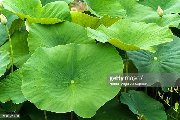 Leaves of a Lotus flower -Nelumbo-, Bavaria, Germany