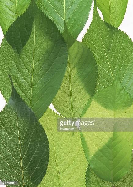 Leaves of cherryblossom