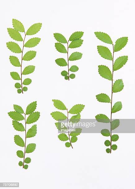 Leaves of chinese elm