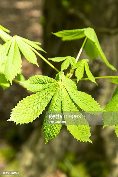 Leaves of HorseChestnut deciduous tree Aesculus hippocastanum in Bruern Wood in The Cotswolds Oxfordshire UK