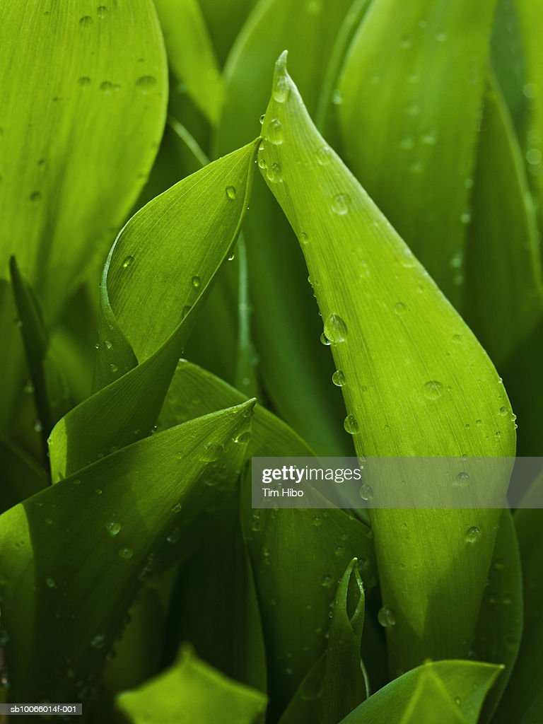 Leaves of lilies of the valley : Stock Photo