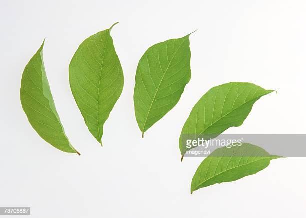 Leaves of Magnolia
