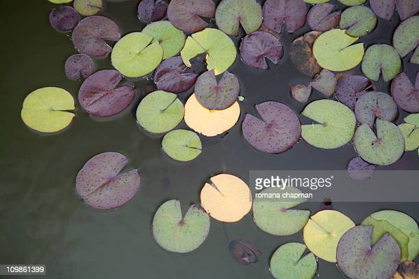 leaves of nymphaea, water lilly