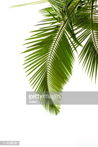 Leaves of palm on white background : Stock Photo