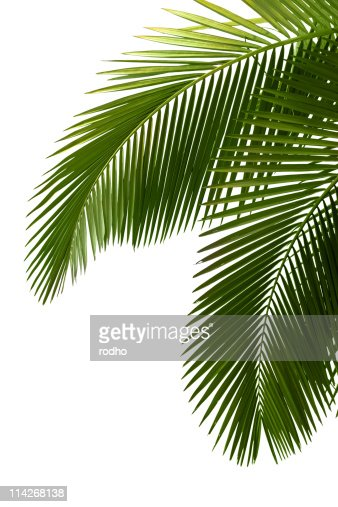 Leaves of palm tree : Stock Photo