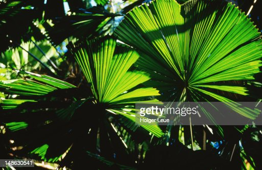 Leaves of rainforest palm.