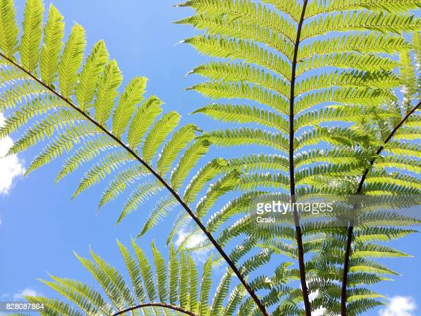Leaves of xaxim with blue sky in the background