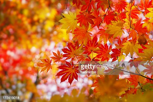 Leaves on a maple tree in autumn