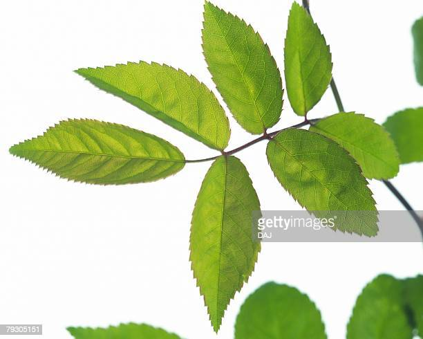 Leaves on Branch, Close Up, Differential Focus, In Focus, Out Focus