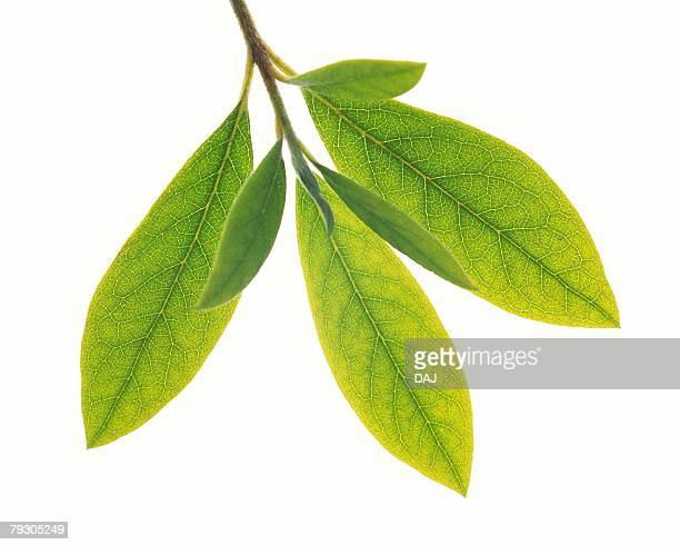 Leaves on Branch, Close Up, High Angle View