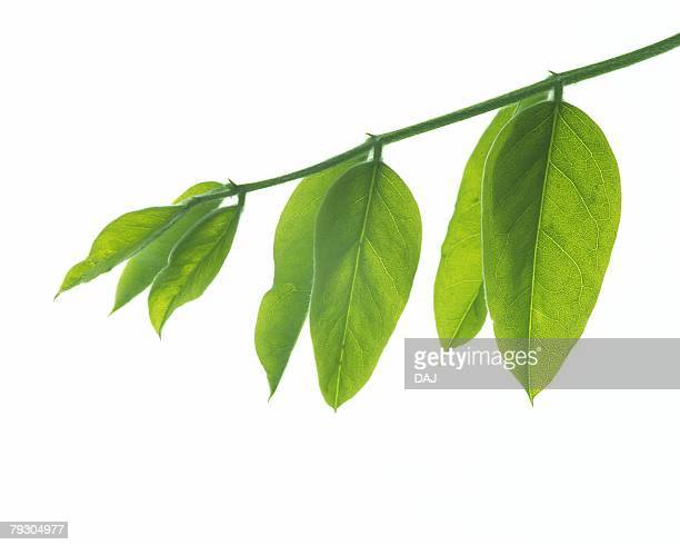 Leaves on Branch, Close Up