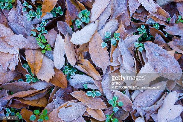 Leaves on ground covered in frost