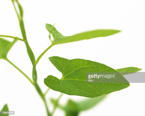Leaves on Stem, High Angle View, Close Up, Differential Focus, In Focus, Out Focus