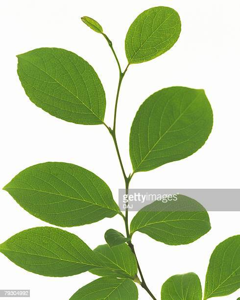 Leaves on Stem, High Angle View, Close Up