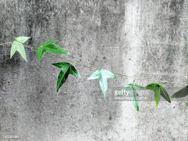 Leaves On Vine Against Gray Concrete Wall