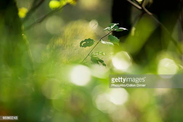Leaves on young tree, selective focus