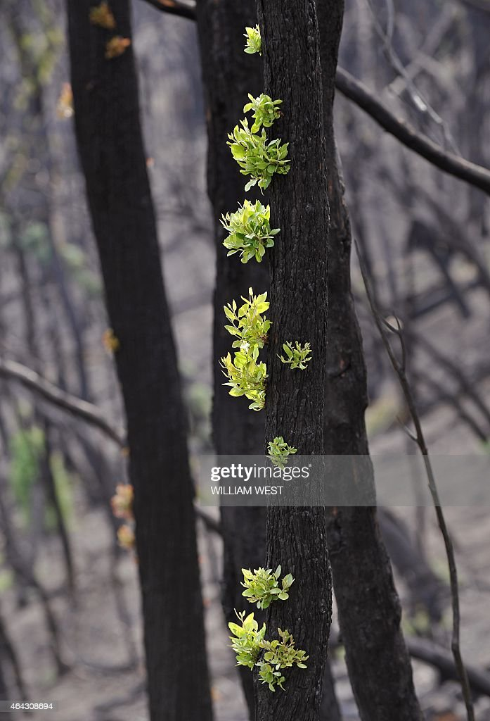 Leaves sprout from trees devastated by bushfires in February near the township of Kinglake, some 60 kilometres north of Melbourne, on April 23, 2009. With little regrowth, forecasted rain for the next week threaten a great deal of erosion with little to hold the topsoil to the hillsides. AFP PHOTO/William WEST