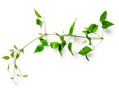 Clematis leaves with tendril. Green twig isolated on white background clipping path included. Floral design. Top view, flat lay