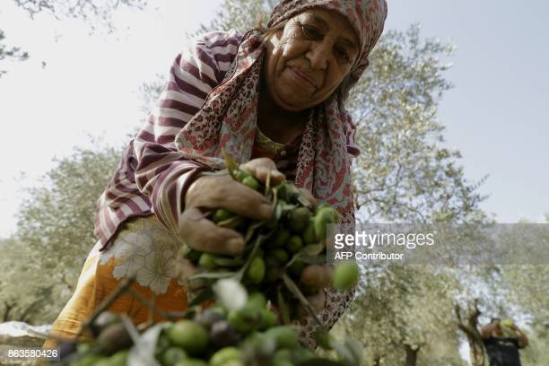 A Lebanese farmer harvests olives at a field in the town of Batroumin north of Beirut on October 20 2017 Lebanons olive oil production oscillates...