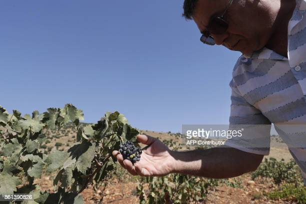 A Lebanese farmer inspects grapes at his vineyard planted next to a cannabis field on the outskirts of Deir alAhmar in the Beakaa Valley one of the...