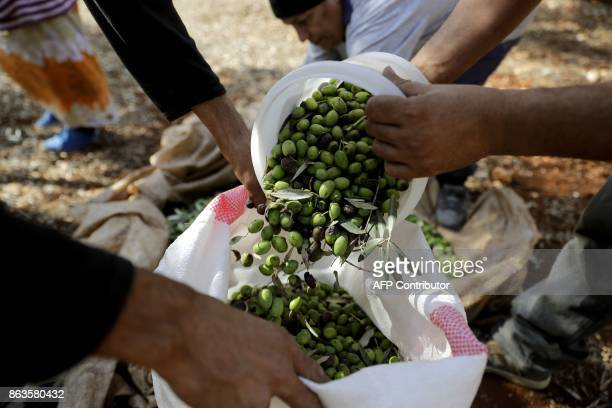 Lebanese farmers harvest olives at a field in the town of Batroumin north of Beirut on October 20 2017 Lebanons olive oil production oscillates...