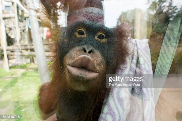 Leela an 11 yearold female Orangutan puckers her lips up against the glass in her enclosure in the Primates exhibit t the Toledo Zoo on Monday August...