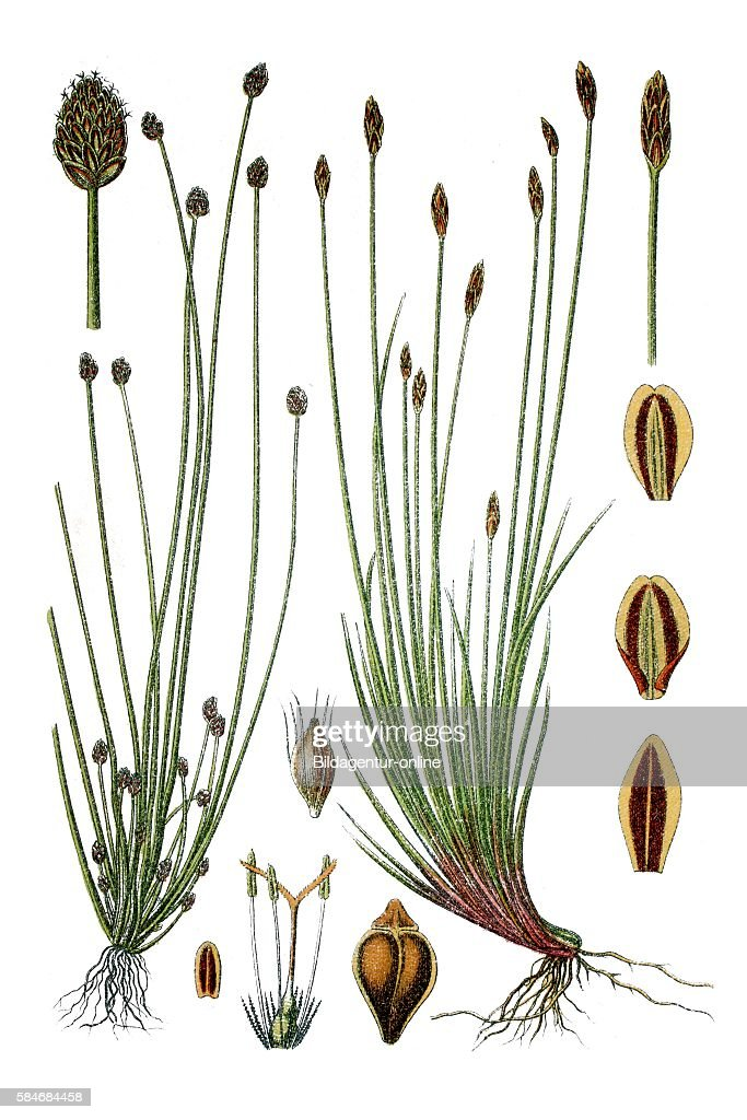Flatsedge Cyperus ovatus right Spikerush Cyperus multicaulis