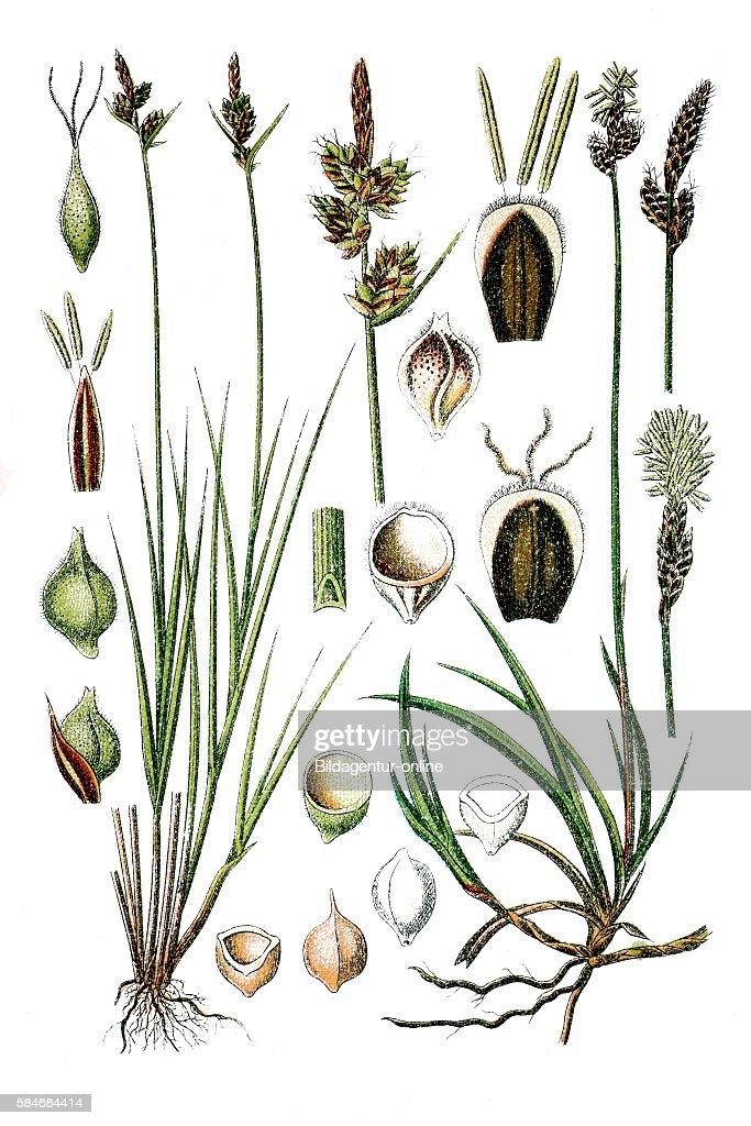 Pill Sedge Carex pilulifera right Rare Spring Sedge Carex ericetorum