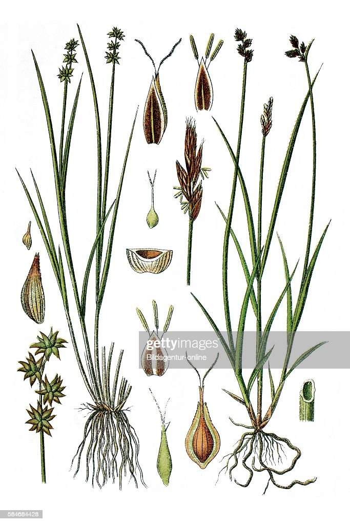 Star Sedge or Little Prickly Sedge Carex echinata right Oval Sedge or Eggbract Sedge Carex leporina Heil und Nutzpflanzen historisches Chromlitho ca...