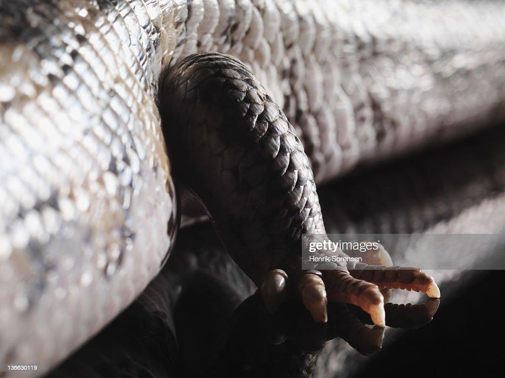 leg of Bluetongue Lizard : Stock Photo