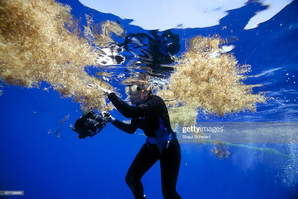 Legendary oceanographer Sylvia Earle examines a patch of sargassum during an expedition to the Sargasso Sea, as part of her 'Mission Blue' campaign. The Sargasso Sea is home to seaweed of the genus Sargassum, which floats en masse on the surface there. The sargasso plays a major role in protecting and of different wildlife such as eels and turtles. Mission Blue's purpose is to explore the ocean while further protecting it. 'It's not enough that we protect 12% of our land but it's certainly not enough that we protect just a fraction of one percent of our oceans.' says Sylvia Earle, founder of the program. Earle is a National Geographic Explorer-in-Residence, sometimes called 'Her Deepness'. She led the Google Ocean Advisory Council, a team of 30 marine scientists providing content and scientific oversight for the 'Ocean in Google Earth.' To date, she has led over 70 expeditions, logging more than 6500 hours underwater. Among the more than 100 national and international honors she has received is the 2009 TED Prize for her proposal to establish a global network of marine protected areas.