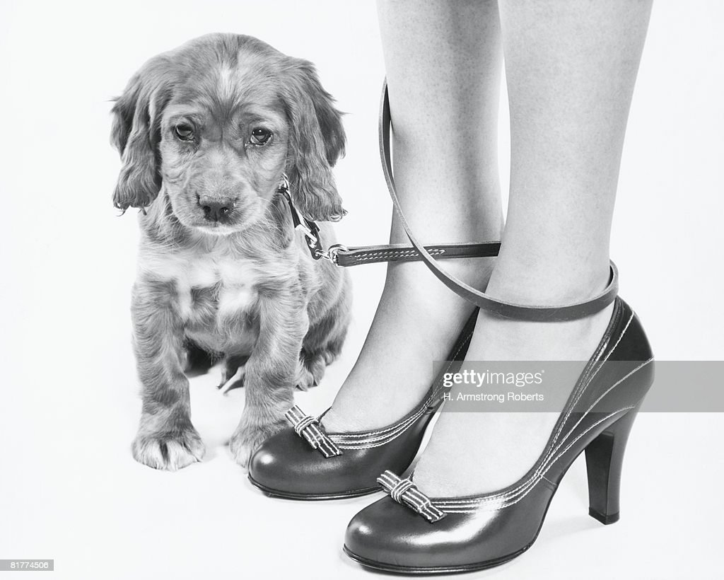 Legs of woman in high heel shoes tangled by leash of cocker spaniel puppy. : Stock Photo