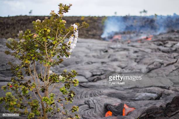 Lei flower Ohia Lehua sacrifice to Pele