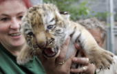 Animal keeper Franka Friedel holds a baby tiger during its first outdoor walk at the zoo in Leipzig eastern Germany 13 July 2007 The little tiger is...