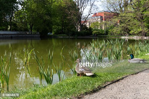 Leipzig (Germany)- two ducks in the park near the main train station : Stock Photo