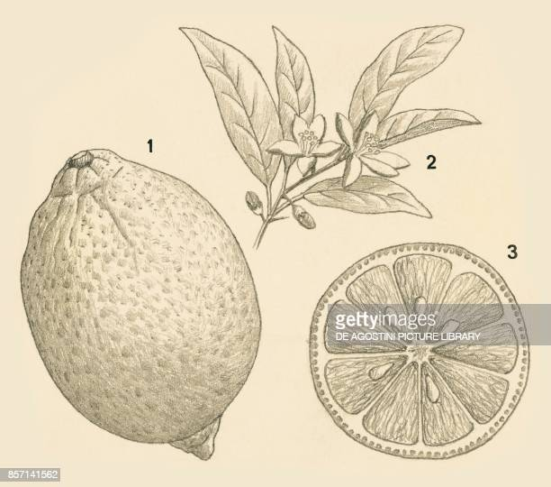 1 fruit 2 flowers 3 sections of fruit drawing