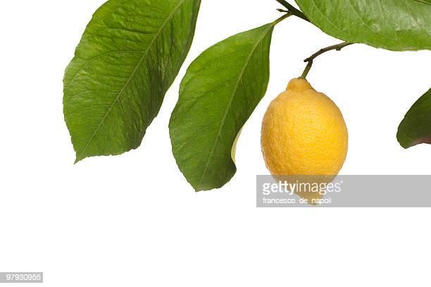 Limón y rama sobre blanco
