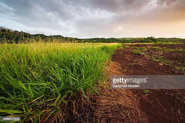 Lemon Grass or Fever grass