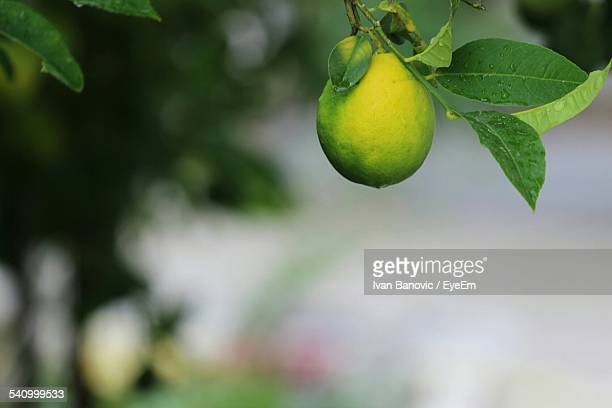 Lemon Growing On Branch Outdoors