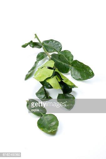 Lemon lime leaf bunch : Foto de stock