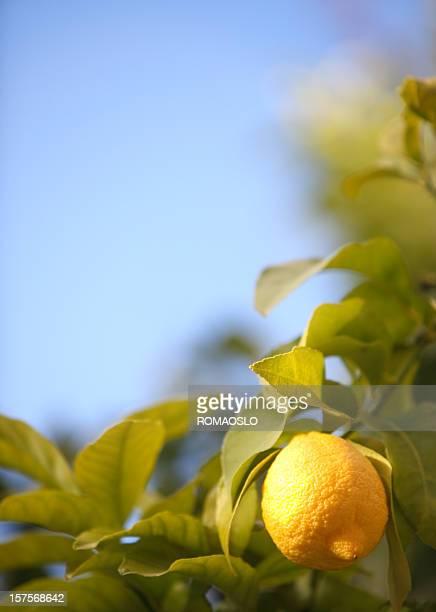 Lemon del árbol, cielo azul y el espacio de copia, Italia