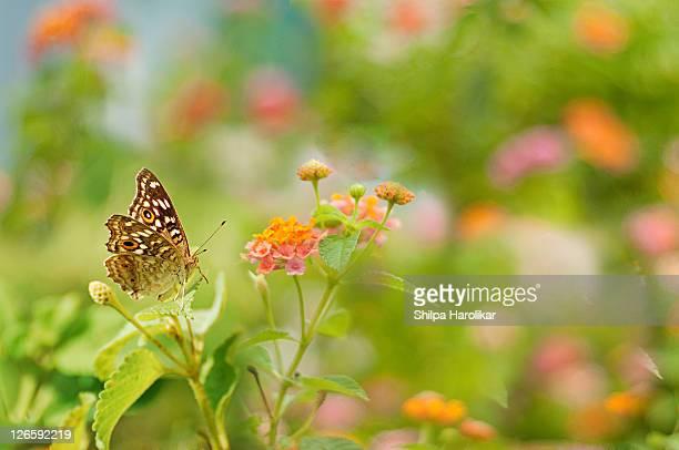 lemon pansy butterfly on wild lantana flowers