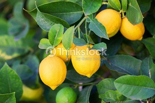 lemon : Stock Photo