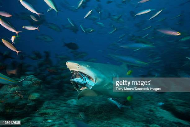 Lemon Shark Toys : Shark bite stock photos and pictures getty images