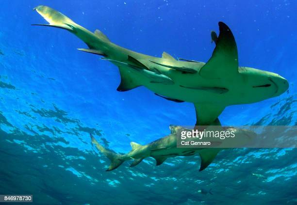 2 Lemon Sharks on Surface