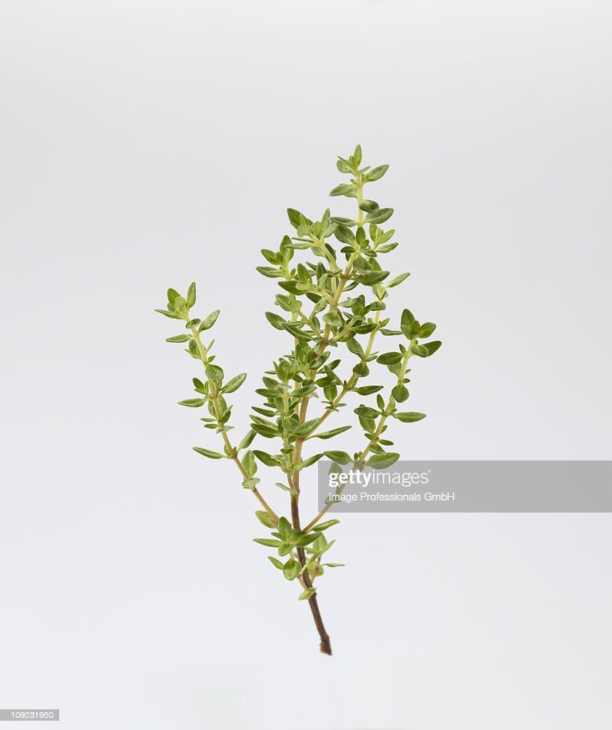 Lemon thyme against white background, close-up